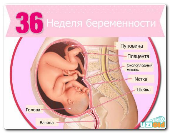 Беременность 36 недель положение плода