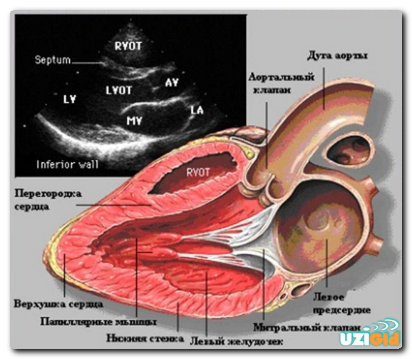 Расшифровка результатов УЗИ сердца